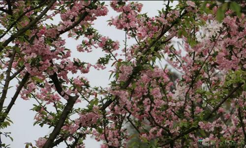 3月19日,新浦樱花谷开园迎客,满园春色等着你