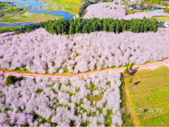 贵安新区万亩樱花进入盛开时节